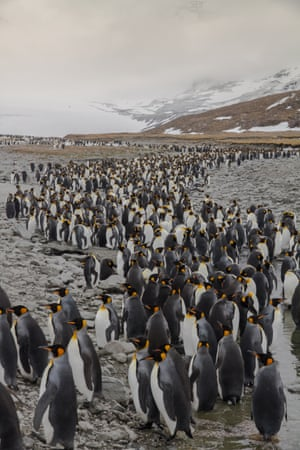Penguin bay. South Georgia offers some of the most spectacular wildlife encounters on the planet, with backdrops of mountains, glaciers and the Antarctic Ocean. This is St Andrews Bay, home to half a million king penguins. These are keeping their feet cool in a glacial river.
