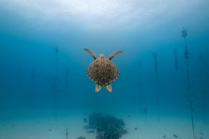A green sea turtle swims through a coral nursery in Florida