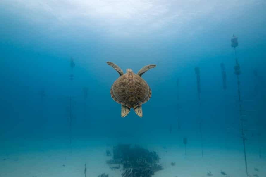 A green sea turtle swims through the Tavernier nursery.