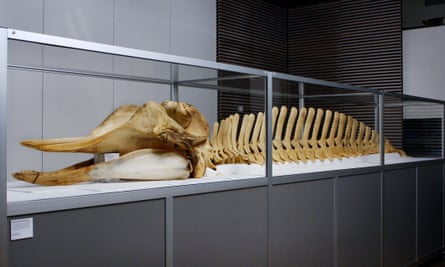 The skeleton of the Thames whale on display at the Guardian.