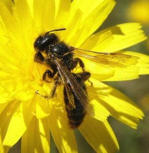Large shaggy bee (Panurgus banksianus) on hawkbit