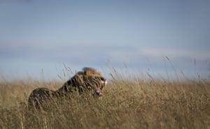 A lion yawns in the long grass in the savannah of the Maasai Mara, Kenya.