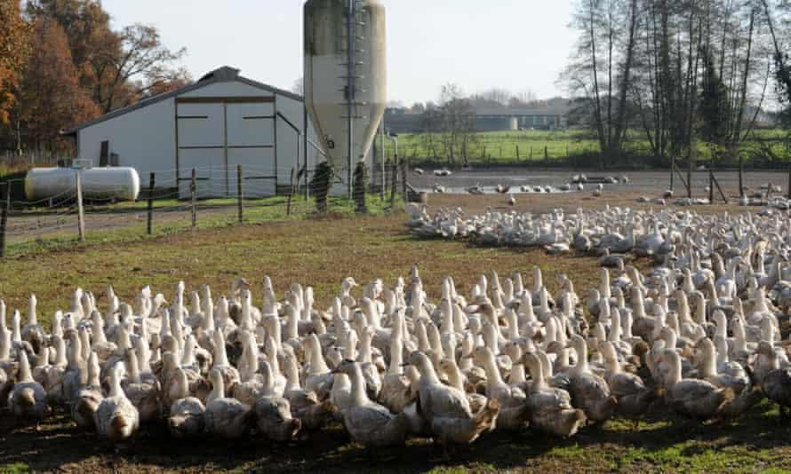 Ducks on a farm in France.