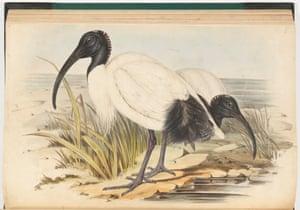 The Australian white ibis