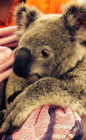 Napoleon, Christodoulou's first rescue koala.