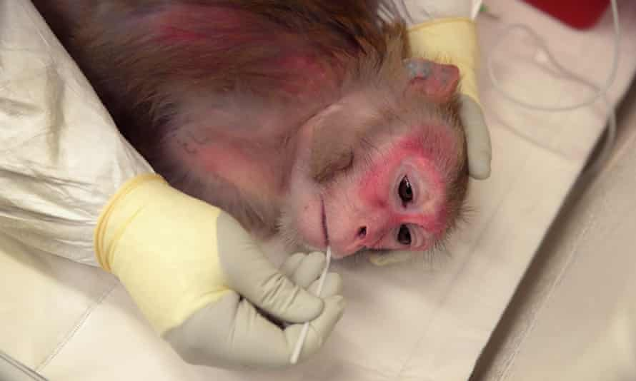 Saliva is taken from a pregnant rhesus macaque monkey infected with Zika at the Wisconsin National Primate Research Center in the US.