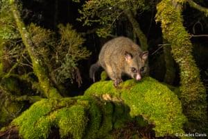 A possum on a branch