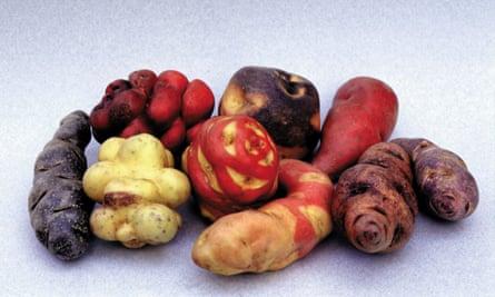 A selection of native potato varieties including the cuchipa acan, alq'a piña, puka piña, conejito, condor huarmi, lleque and chiquibonita.