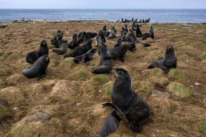 Fur seals rest along the northern shore in St. George, Alaska. Hundreds of thousands of fur seals spend their summer on St. George each year