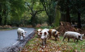 Domestic pigs roam near Burley, Hampshire, as they take part in pannage, where the animals are allowed to wander in the New Forest to feast on fallen acorns, which are dangerous for the ponies and cattle in large quantities. The Forestry Commission has confirmed that pannage has been extended this year, because of the abundance of acorns.