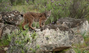 On the trail of the elusive Iberian lynx in Spain