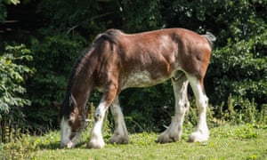 Clydesdale Horse in Pollock Country Park.