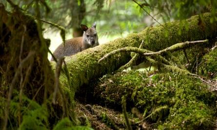 A wallaby on Inchconnachan