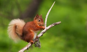 Red squirrels could be saved by studying grey squirrels' genes.