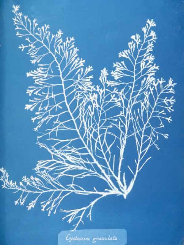 Cyanotype Cystoseira granulata seaweed.