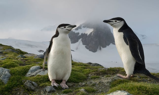 Alarm over collapse of chinstrap penguin numbers