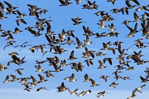 大群迁移的黑雁(黑雁leucopsis)在飞行中反对蓝天