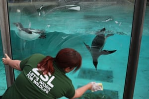 A penguin follows the sponge of a keeper as she clean the glass on an enclosure