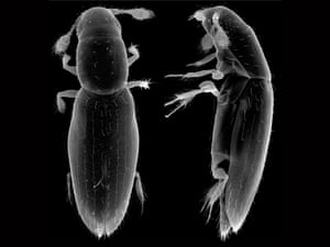 The smallest known free-living insect, Scydosella musawasensis.