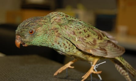 a night parrot.