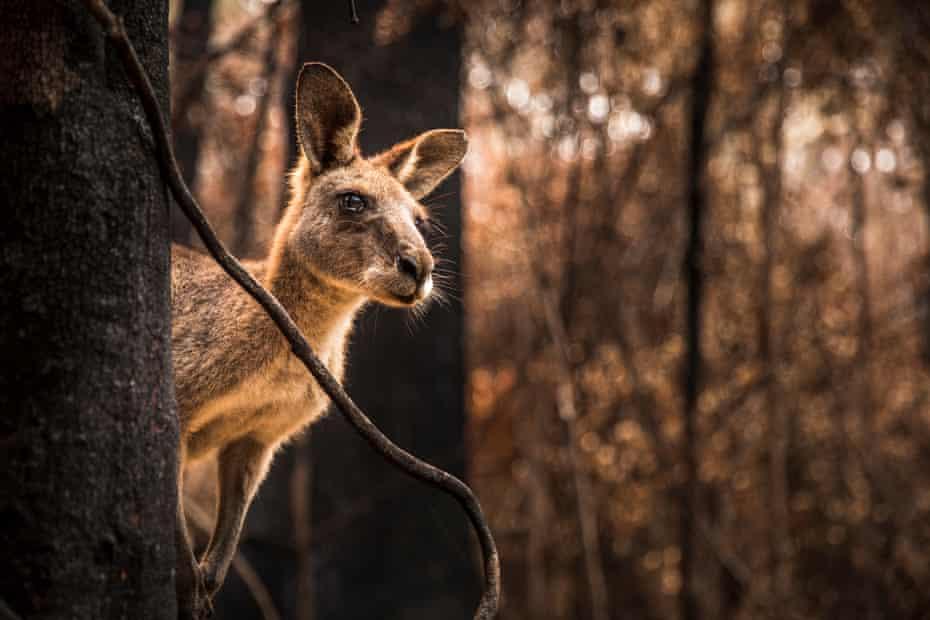 Kangaroo in burnt forest after bushfires swept through during an Australian summer.