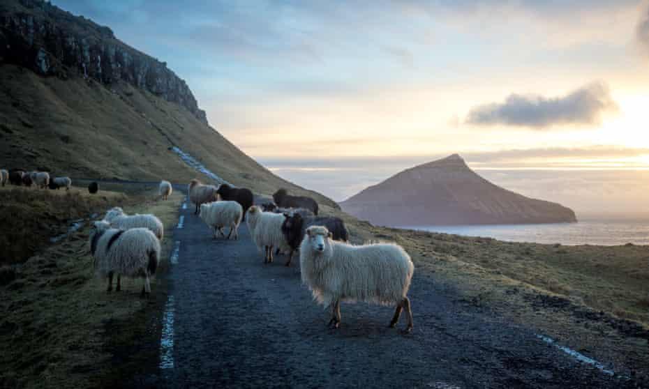 گوسفند هنگام غروب خورشید در ساحل غربی جزیره استریموی