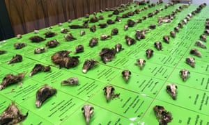 the skulls of wedge-tailed eagles found on a rural property in the snowy mountains