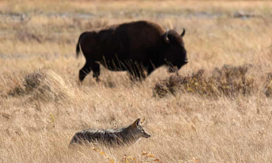 A coyote and bison in Lamar Valley, Yellowstone national park.