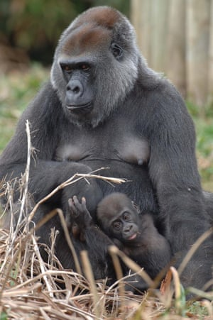 Romina, formerly known as Romana, at Bristol Zoo in 2005 with her baby son Namoki