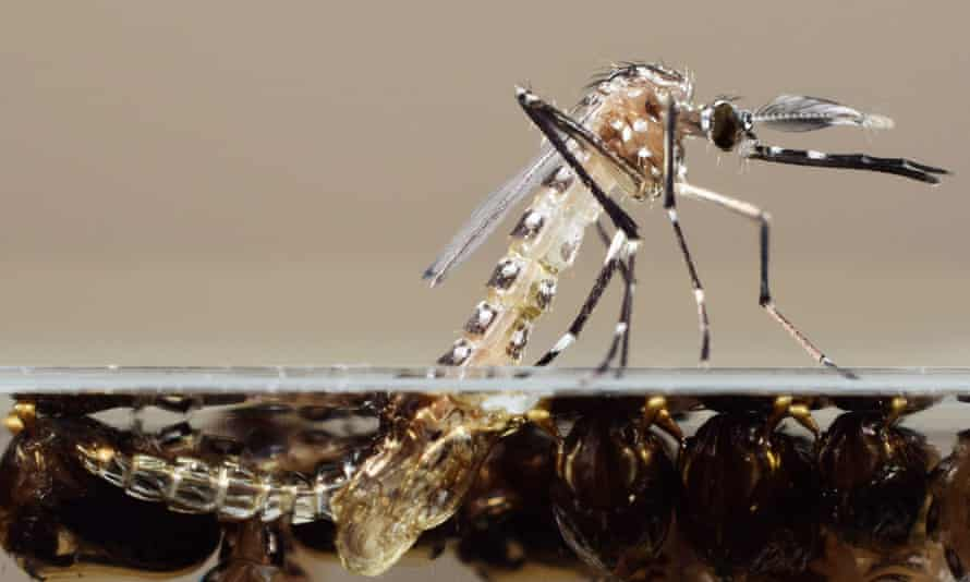 A genetically modified mosquito emerges from its pupa.