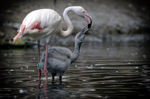 A flamingo with its chick at Jihlava Zoo, in the Czech Republic