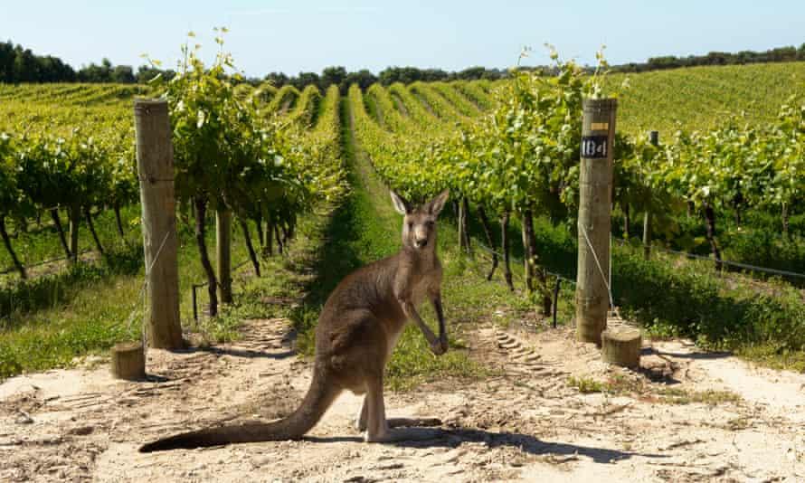 Kangaroo in Penfolds Vineyards, Australia