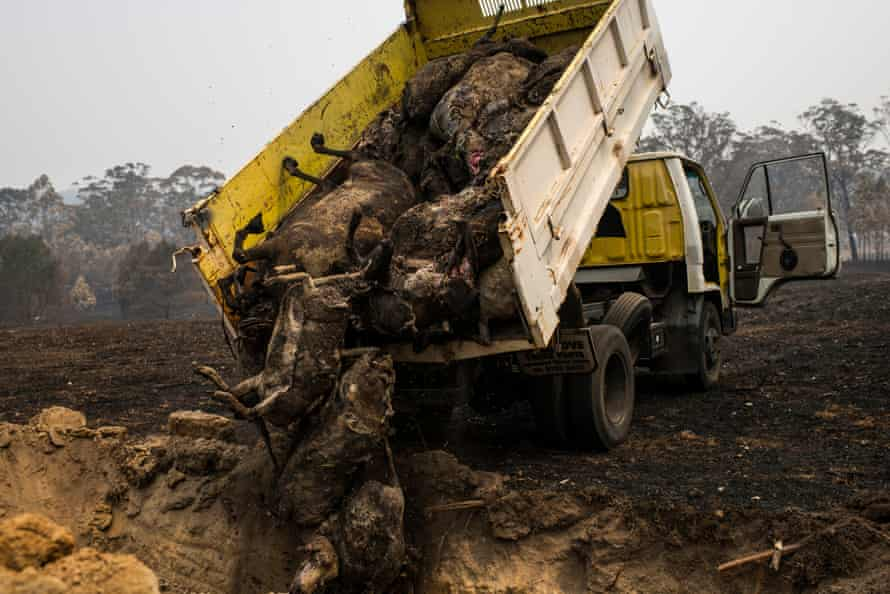 Dead sheep that were collected using earth-moving equipment are moved by tip-truck and buried in a mass grave on the property in Cobargo on the New South Wales south coast, which was destroyed by fire on New Year's Day.
