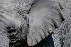 An African bush elephant seen at the African Safari ecological park in Puebla, Mexico on 27 January