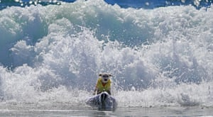 A dog surfs during the annual competition