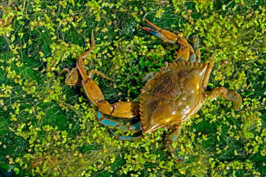 A male blue crab catching a Frog in the Ebro Delta, Spain.