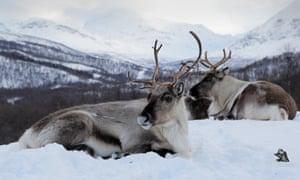 Reindeer at Polar Park