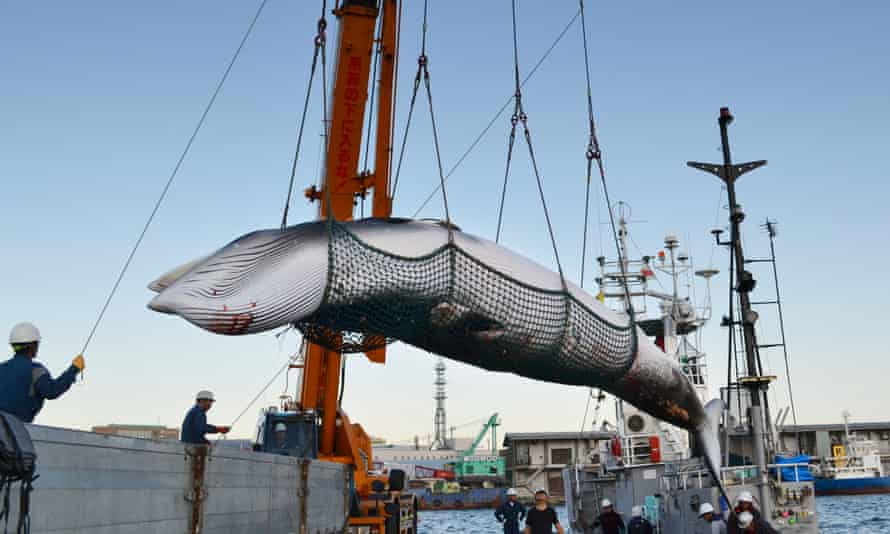 A minke whale is landed at a port in Kushiro on Japan's northernmost main island of Hokkaido in 2017.