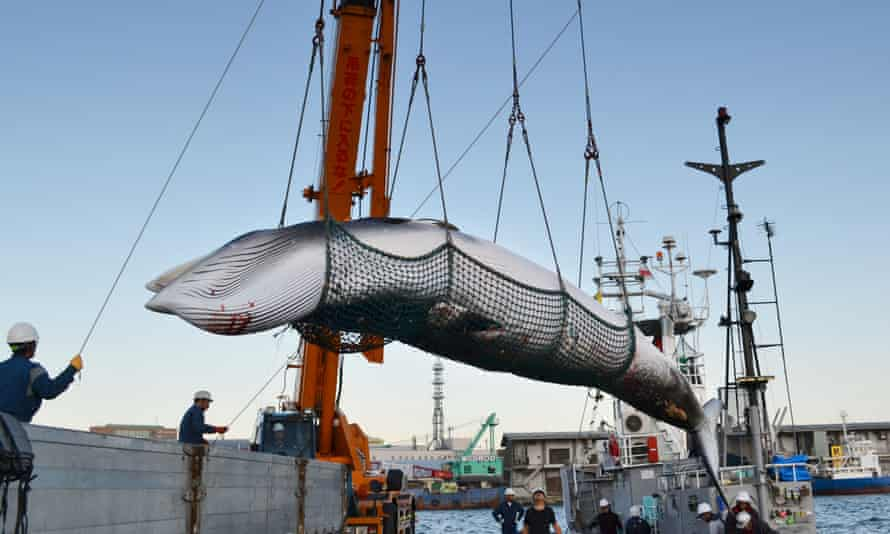 A minke whale is landed at a port in Kushiro on Japan's northernmost main island of Hokkaido in September 2017 as part of 'research whaling'. Australia's PM is being urged to raise the issue with Japanese prime minister Shinzō Abe.