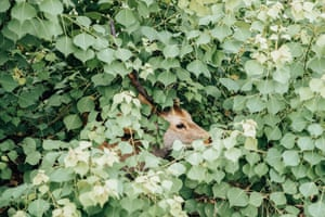 A deer peeps out from foliage on Mount Wakakusa, a hill overlooking Nara city, Japan
