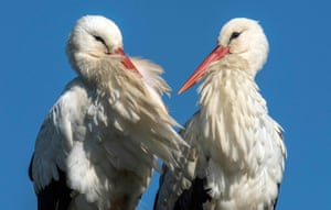 Two storks sit on their nest in Biebesheim, western Germany. Many breeding pairs of the migratory birds came back early from their wintering grounds and have now difficulties to find food in the frozen landscape