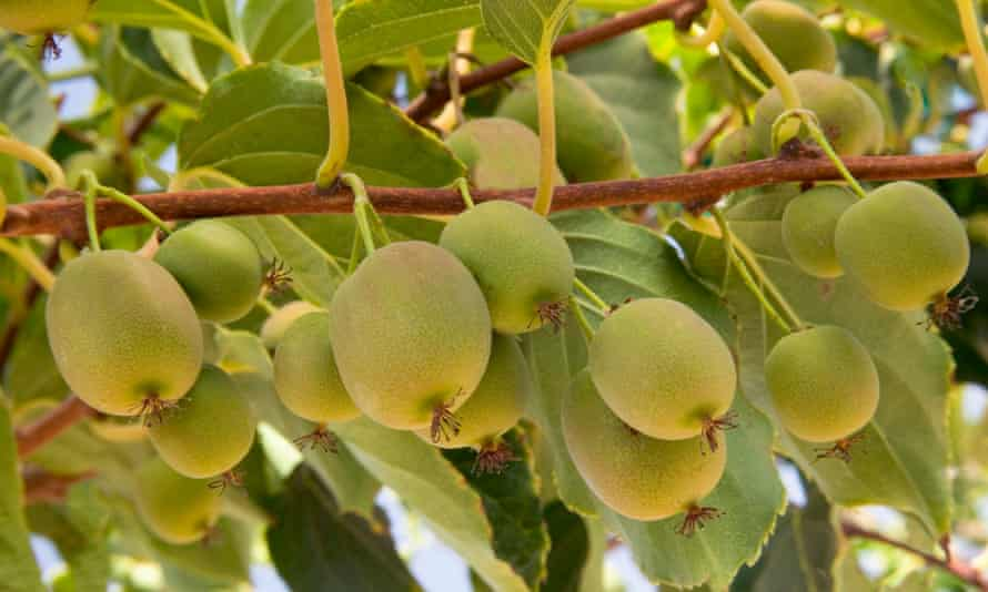 Kiwi fruit pickers are desperately needed to save the harvest in New Zealand.