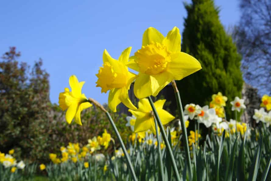 Daffodils in an English garden … nature is a well-established mood-enhancer.