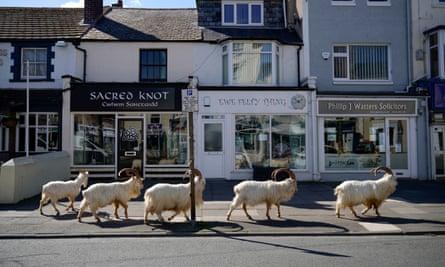 Goats roam the streets of Llandudno.
