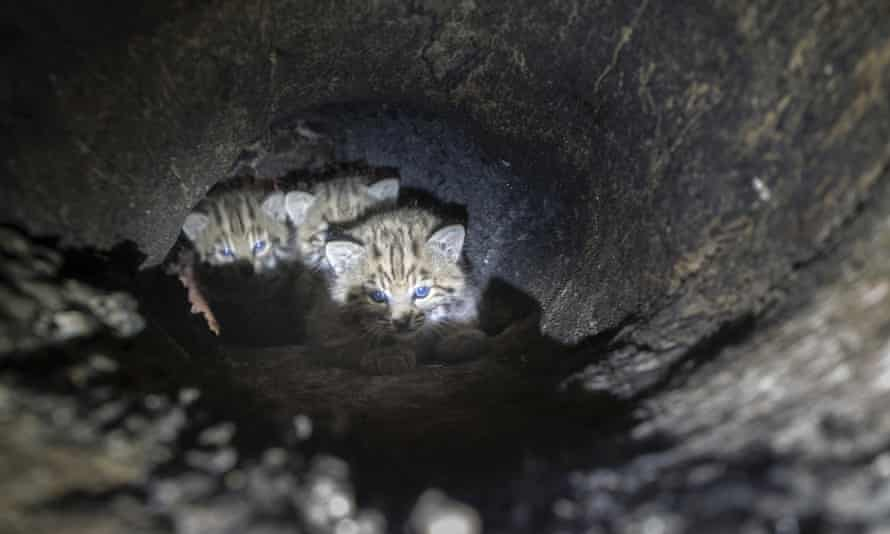 Biologists studying southern California bobcats found a mother and three kittens this spring in an unusual den in a cavity up in a tree.