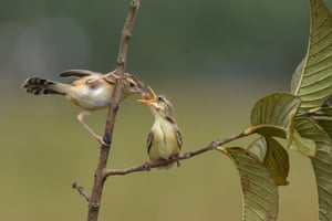 A mother zitting cisticola feeds her chick in Painan, Indonesia