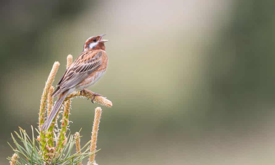 An adult male pine bunting (Emberiza leucocephalos) in Russia. The species is now extinct in Europe.