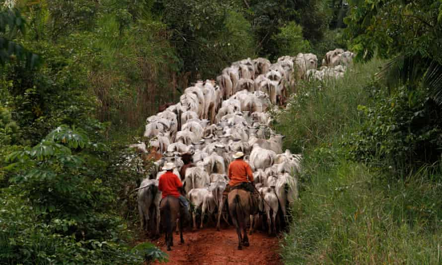 Cattle raised in an area of deforested Amazon rainforest