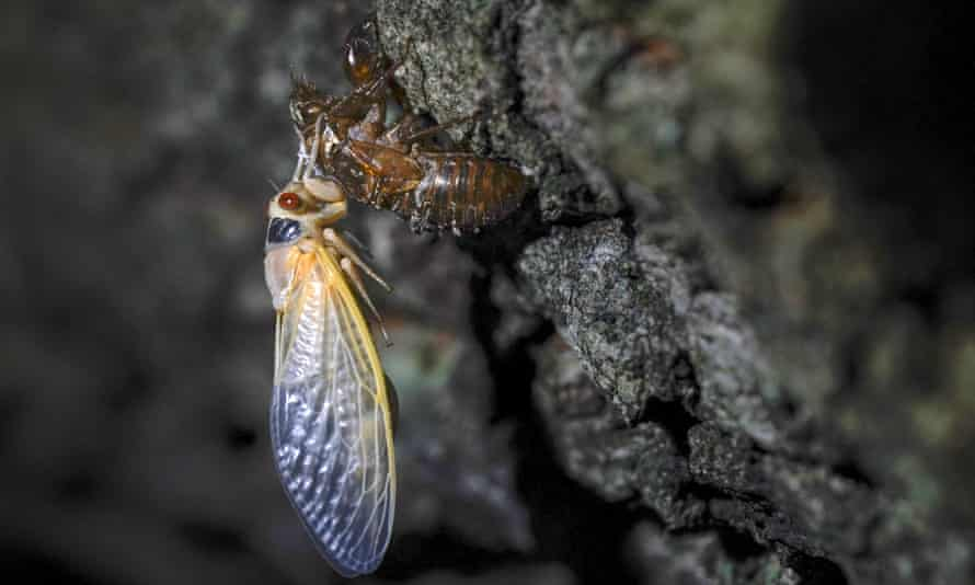 An adult cicada rests after shedding its nymphal skin, on the bark of an an oak tree in College Park, Maryland, on 5 May.