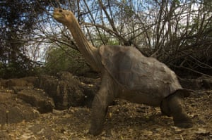 The giant tortoise Lonesome George, last survivor of his Galapagos Islands subspecies, at the Darwin research centre on Santa Cruz Island, Ecuador, where he died last weekend.